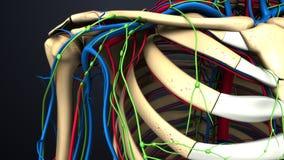 在肩胛骨的动脉、静脉和淋巴结 免版税库存照片
