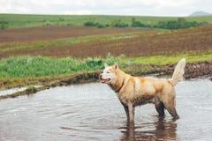 在肮脏的河的多壳的狗 库存照片