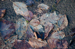 在肮脏的融雪的凋枯的腐烂的叶子 免版税库存图片