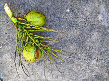 在肮脏的水泥地板上的椰子 库存图片