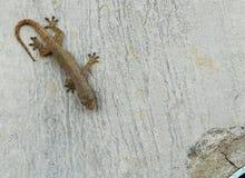 在肮脏的水泥墙壁上的小的蜥蜴 免版税库存照片