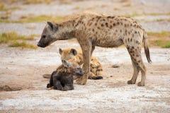 在肯尼亚的大草原的鬣狗,徒步旅行队的 库存照片
