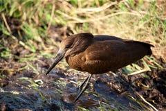 在肯尼亚的大草原的鸟 免版税库存照片