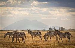 在肯尼亚的平原的斑马 免版税库存照片