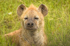 在肯尼亚的马塞语玛拉的幼小鬣狗崽 库存图片