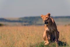在肯尼亚的马塞语Mara的一只雌狮 免版税库存图片