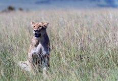 在肯尼亚的马塞语Mara的一只雌狮 免版税图库摄影
