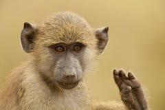 一个橄榄色的狒狒的画象 免版税库存图片
