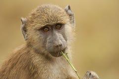 一个橄榄色的狒狒的画象 免版税库存照片