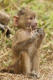 橄榄色的狒狒Cub 库存照片