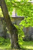 在背后照明的一棵栗树在一个植物园里 免版税库存图片