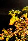 在背后照明的五颜六色的autum叶子 免版税库存照片