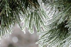 在背后照明的冰杉木 库存照片