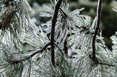 在背后照明的冰杉木 图库摄影