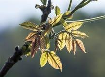 在背后照明的叶子给一种泛音秋天感觉 库存照片
