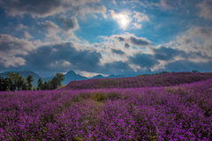 在背后照明的淡紫色领域 免版税库存照片