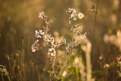 在背后照明的野花领域 免版税库存照片