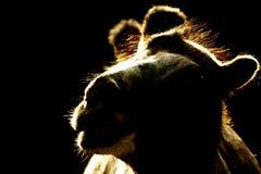 在背后照明的骆驼 库存图片