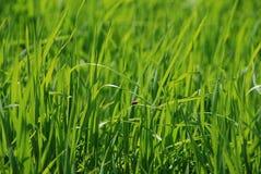 在背景新鲜的水多的绿草的红色瓢虫 免版税库存照片