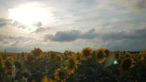 在背景日落的开花的向日葵 在摇摆在风的领域的向日葵 特写镜头 美好的域 股票录像