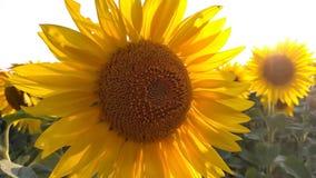 在背景日落的开花的向日葵 在领域的向日葵,慢动作 影视素材