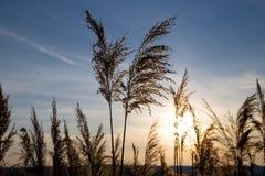 在背景日落的纸莎草在冬天 免版税库存照片