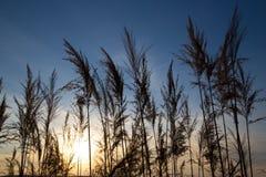 在背景日落的纸莎草在冬天 免版税库存图片