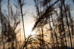 在背景日落的纸莎草在冬天 免版税图库摄影