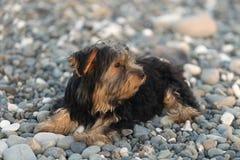 在背景海小卵石的小黑和棕色约克夏狗在海滩 免版税库存照片