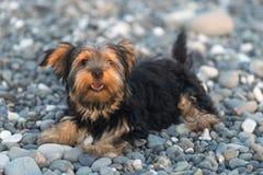 在背景海小卵石的小黑和棕色约克夏狗在海滩 免版税库存图片