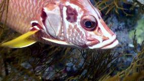 在背景海洋风景的石斑鱼接近的水中在红海 影视素材
