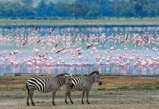 在背景火鸟的两匹斑马 肯尼亚 坦桑尼亚 国家公园 serengeti 马赛马拉 免版税库存照片