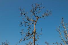 在背景的不生叶的树 库存图片