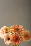 在背景的五颜六色的大丁草 免版税库存图片