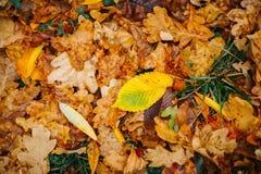 在背景的几片大叶子与秋天最近五颜六色的叶子 免版税库存图片