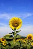 在背景的向日葵 免版税库存图片