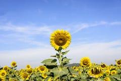 在背景的向日葵 免版税库存照片