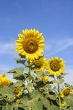 在背景的向日葵 免版税图库摄影