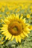 在背景的向日葵 库存照片