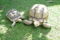 在背景的家庭小和巨型草龟 库存照片