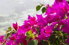 在背景的开花的九重葛 图库摄影
