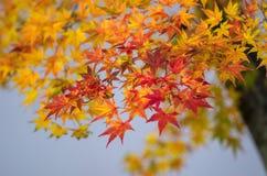 在背景的明亮的秋叶 库存图片