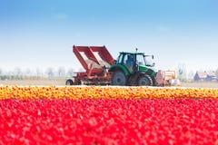 在背景的桃红色郁金香领域和拖拉机工作 库存图片
