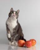 在背景的灰色猫用红色苹果 免版税库存照片