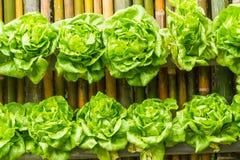 在背景的竹子种植的绿色莴苣 免版税库存照片