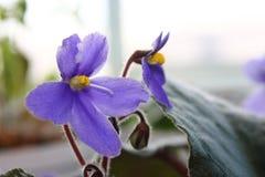 在背景的紫罗兰色紫罗兰色紫色花 库存图片