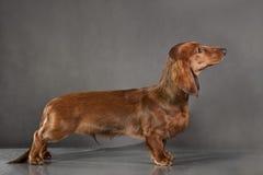 在背景的红棕色狗品种达克斯猎犬 库存照片