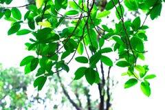 在背景的绿色口气叶子孤立在sping的夏天 库存图片