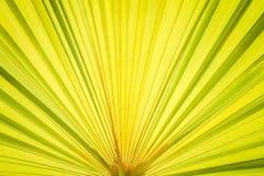 在背景的绿色棕榈叶样式纹理与从太阳的反射 库存照片