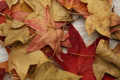 在背景的黄色红色秋叶 免版税库存照片